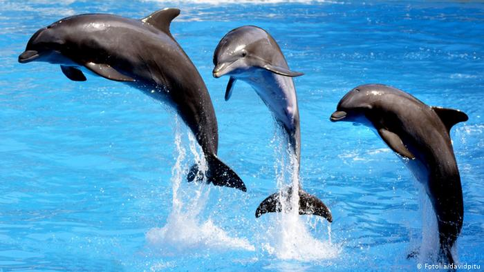 The Dolphin trip in Goa is a memorable way to spend a vacation with friends & families. Dolphin trip in Goa is very popular for families to go out together & have fun. Calangut taxi goa, Candilim taxi goa, Candolim, Taxi in Baga, Baga taxi goa, Goa taxi, Taxi in goa, Rent car in candolim, Rent bike in candolim, Candolim taxi, Airport drop from candolim, Goa taxi Calangute, Goa taxi candolim, Goa taxi baga, Goa taxi ajit